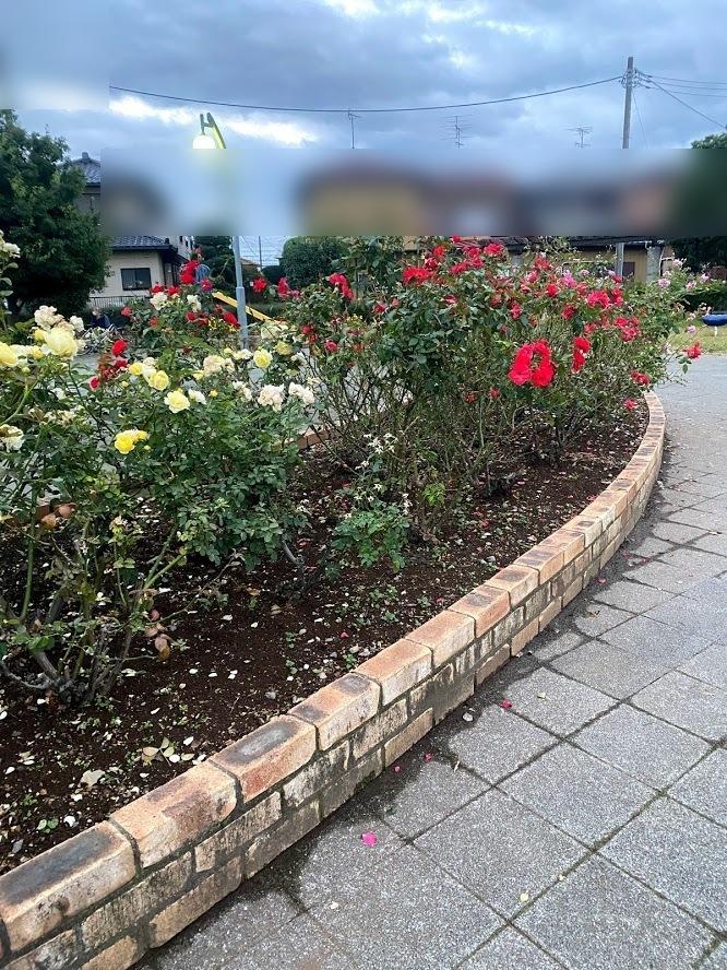花壇に赤色、黄色、薄紫のバラが咲いている