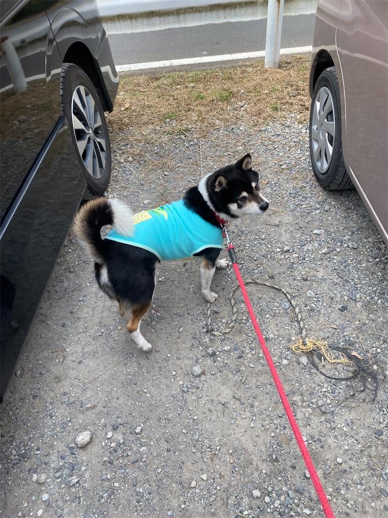 駐車場で2台の車の間で立っている黒柴犬