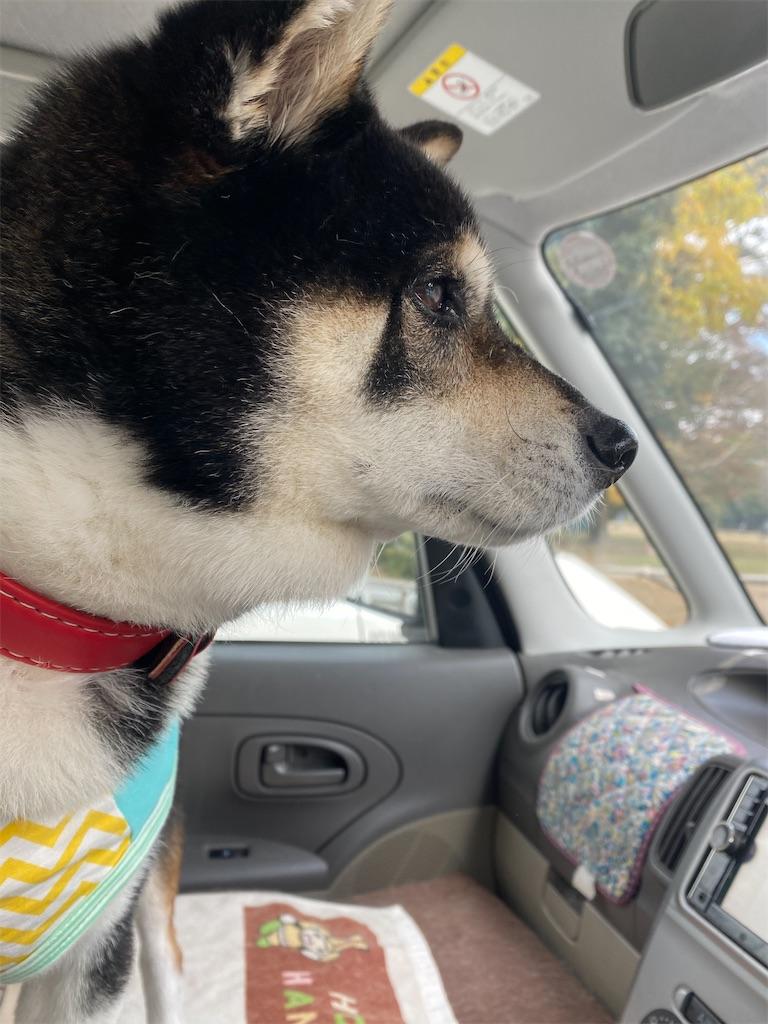 車の中で前面の景色を見ている黒柴犬