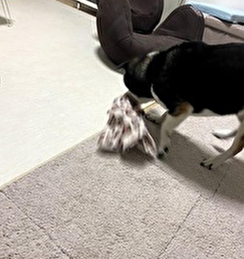 布を噛み振り回している黒柴犬