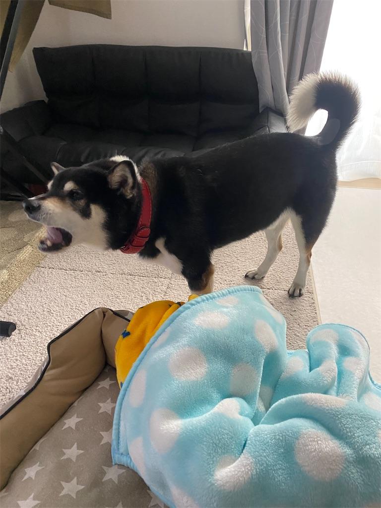 ペットベッドの横で欠伸をしている黒柴犬