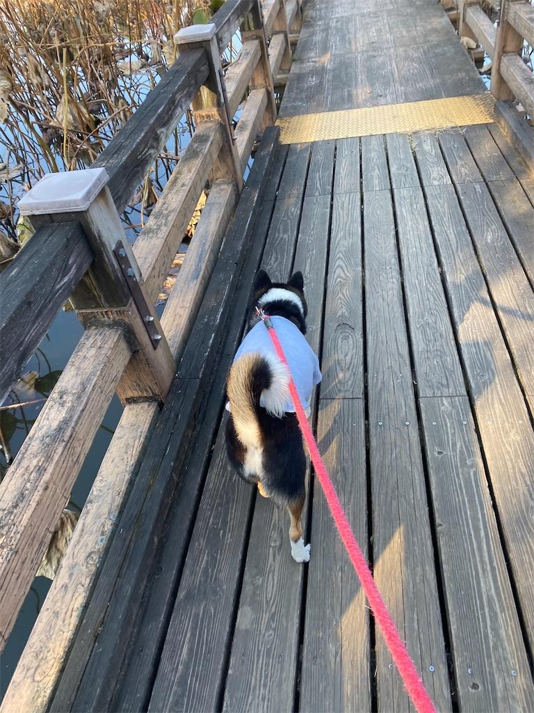 池の中の橋を歩いている黒柴犬