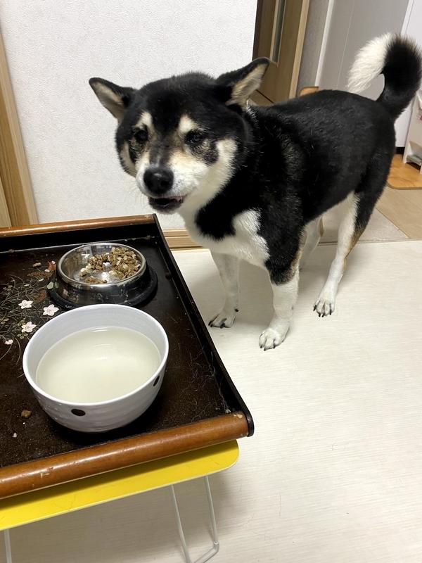 ご飯を食べている黒柴犬