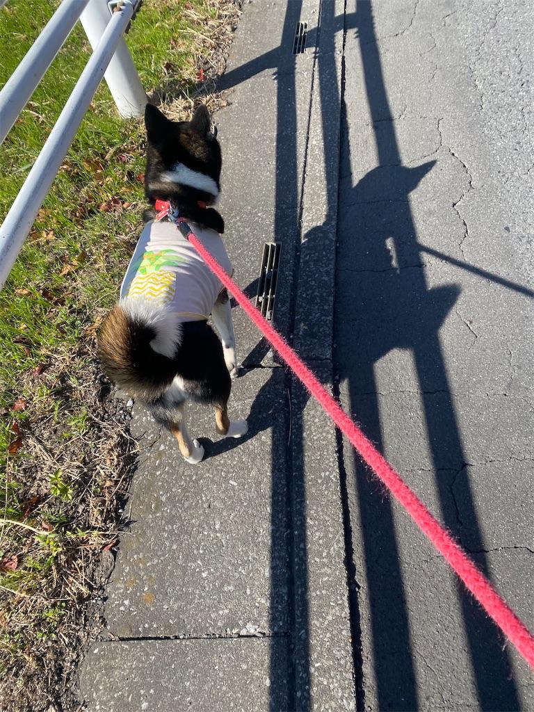 側溝のフタの上を歩く黒柴犬