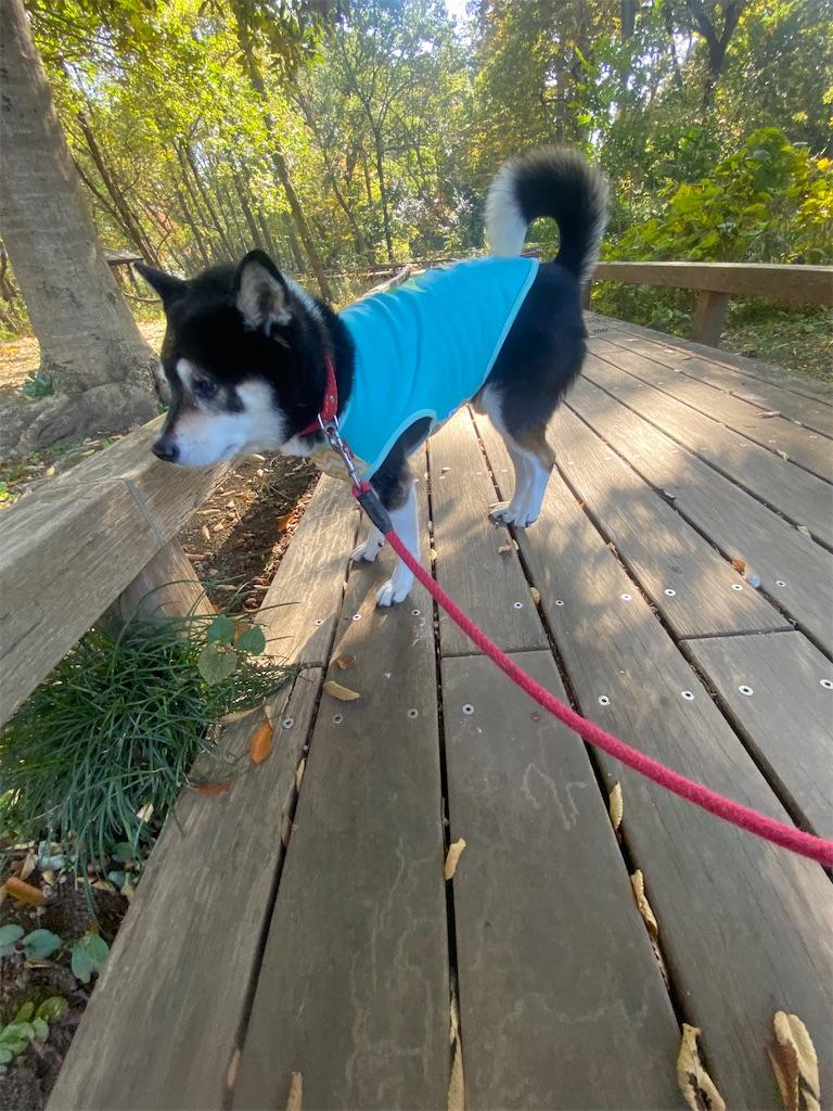 中の橋を歩いている黒柴犬
