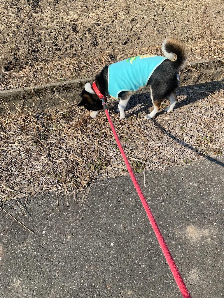 田舎道の路肩で草の臭いを嗅いでいる黒柴犬