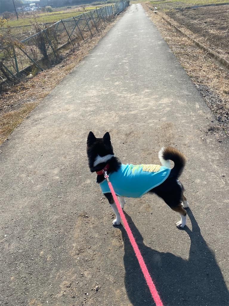 田舎道のど真ん中で立っている黒柴犬