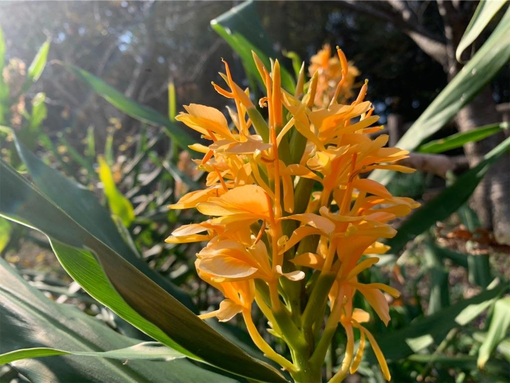 ジンジャーの花の画像