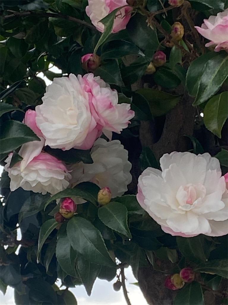 ピンクと白の混ざったサザンカの花