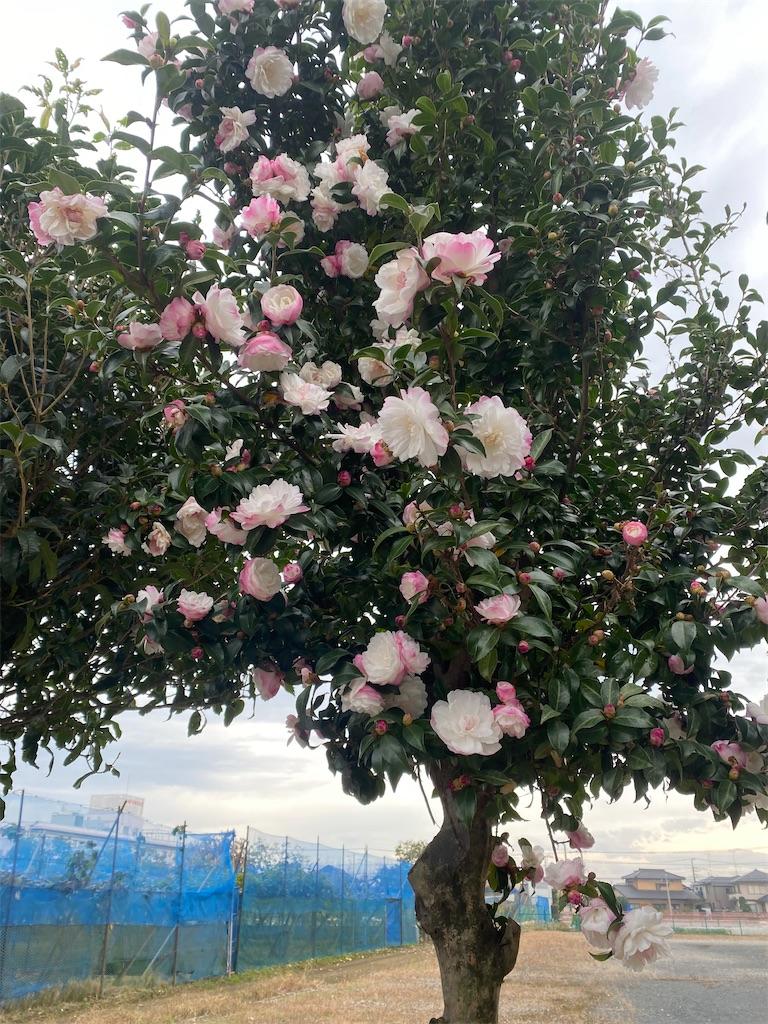 ピンクと白の混ざった花が咲いているサザンカの木