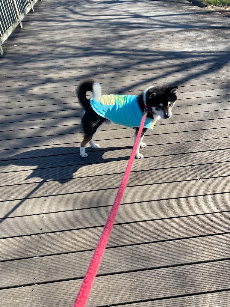 橋を渡っている黒柴犬