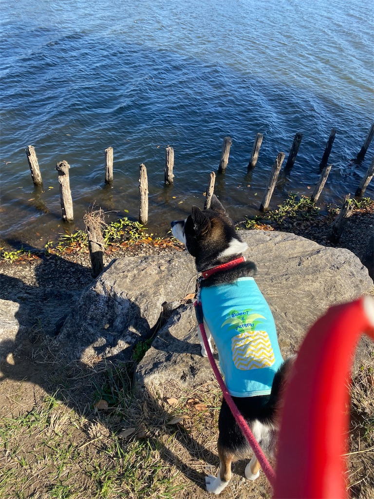 沼を覗いている黒柴犬