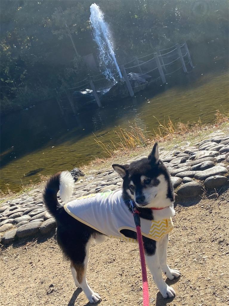 噴水の前で立っている黒柴犬
