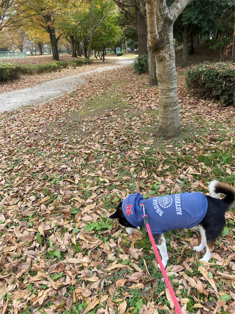落ち葉の中を歩いている黒柴犬