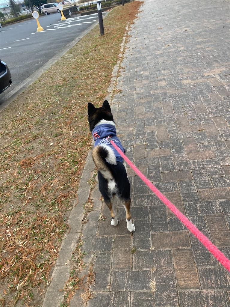 駐車場に向かって歩いている黒柴犬