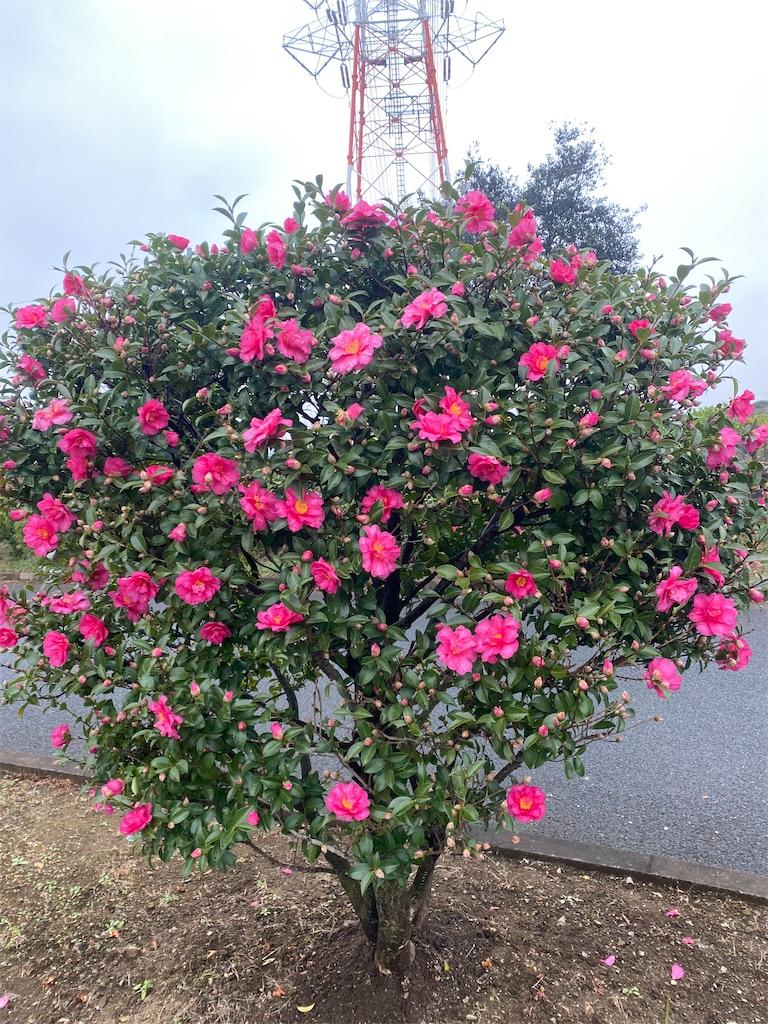 ピンク色のサザンカの木
