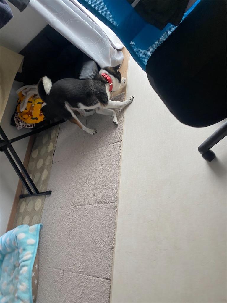ソファの横で頭を床にこすりつけている黒柴犬