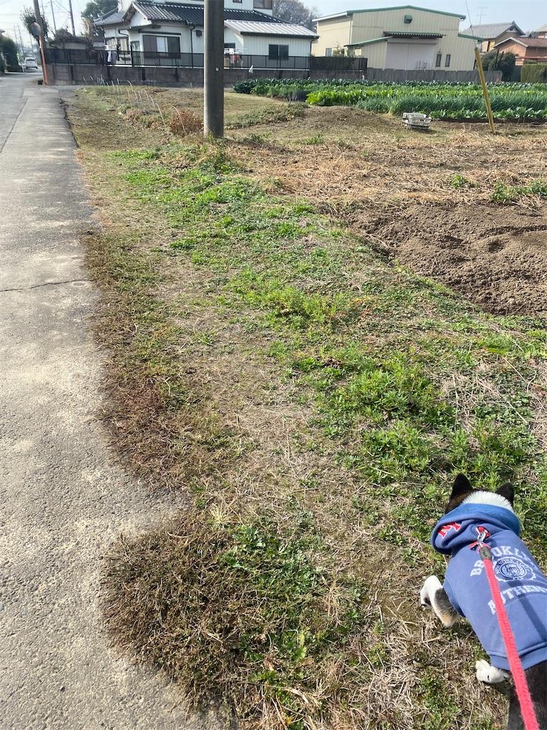 畑の中の細い道を歩いている黒柴犬