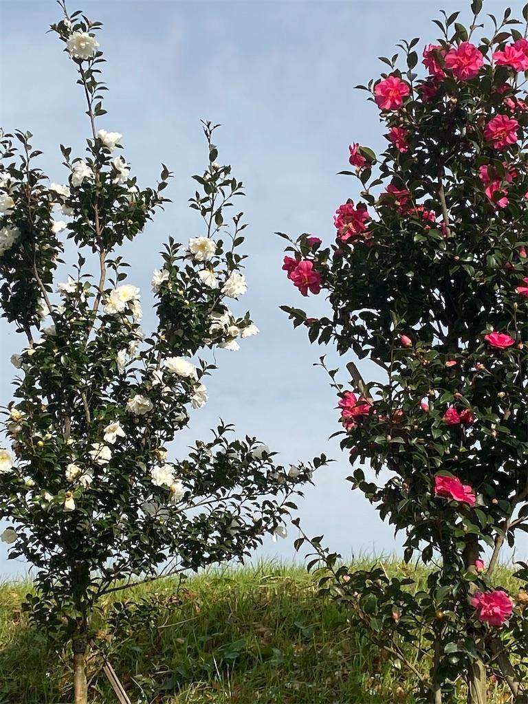 紅いサザンカと白いサザンカが隣通しで咲いている