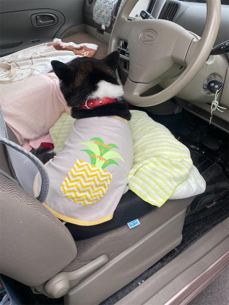 運転席で寝ている黒柴犬