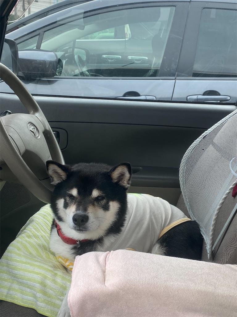 運転席から助手席側を見ている黒柴犬