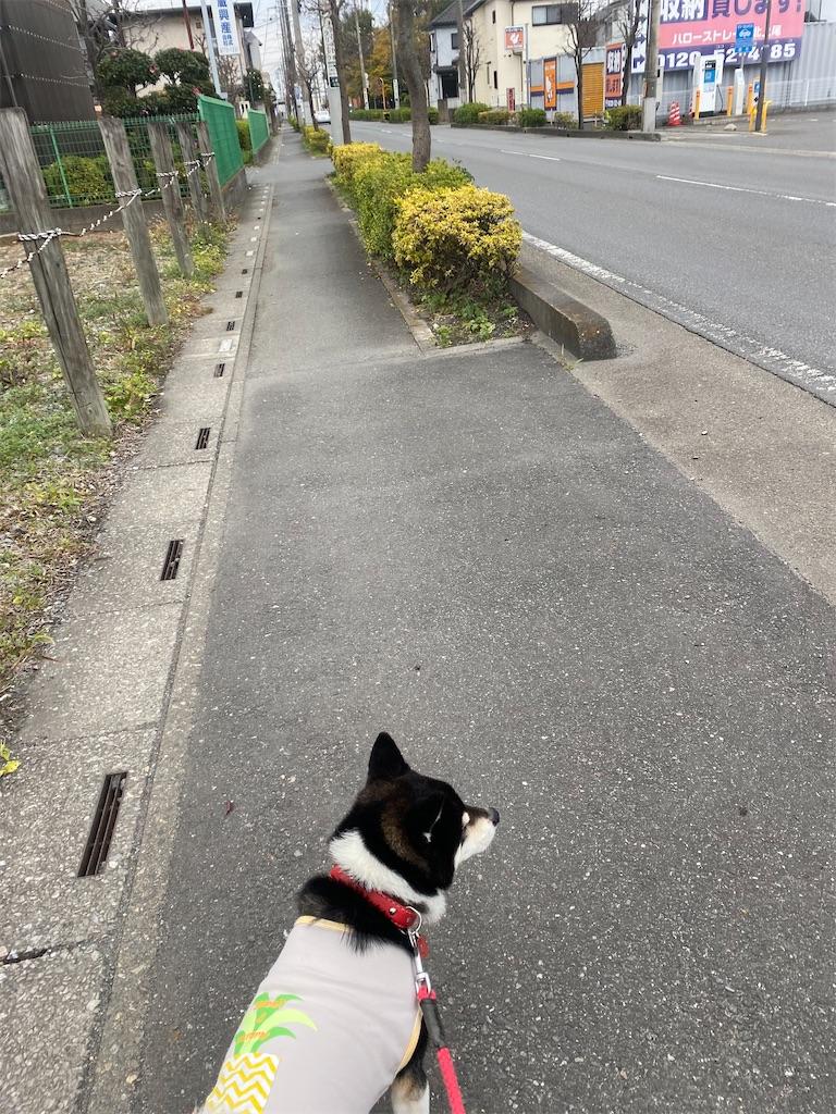 元気に歩いている黒柴犬