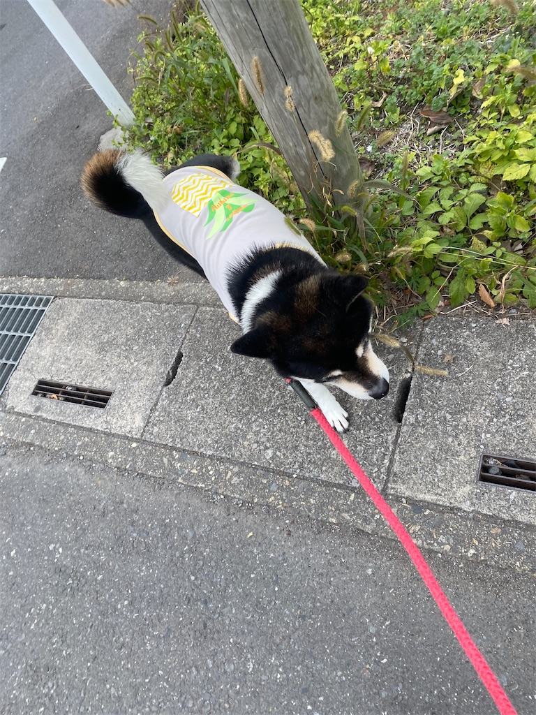 手前に歩いてくる黒柴犬