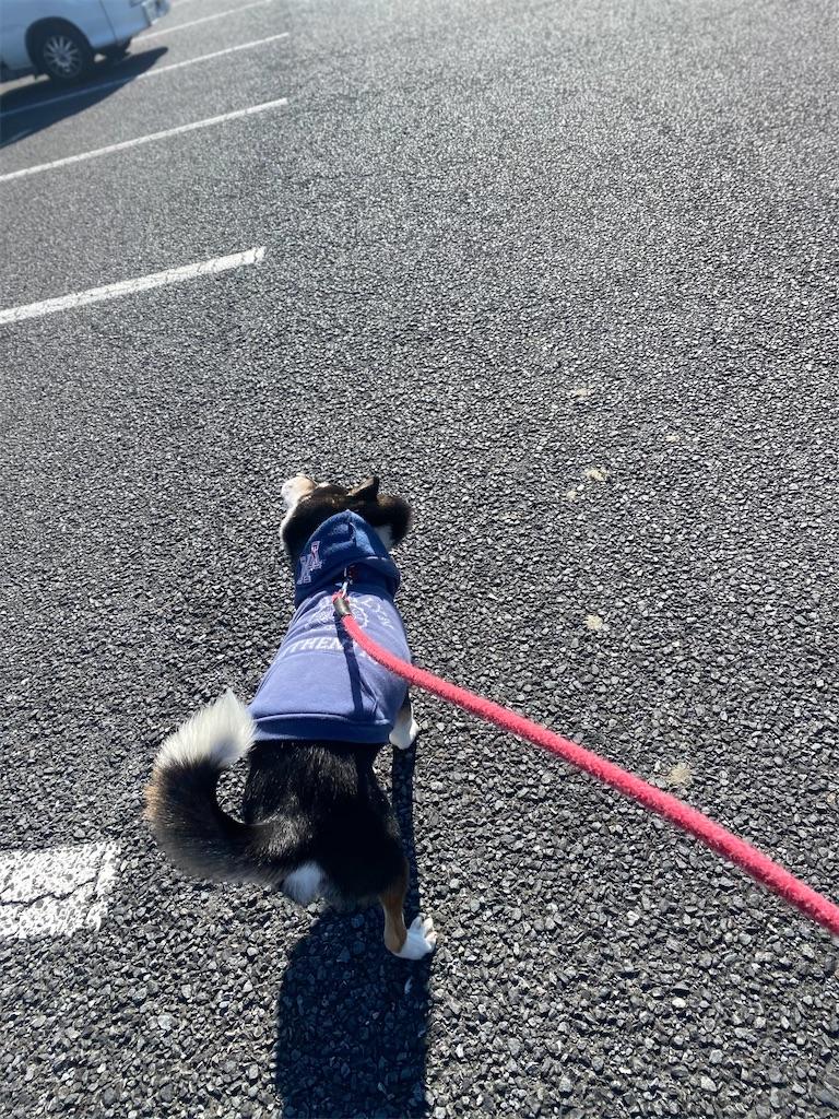駐車場で歩いている黒柴犬