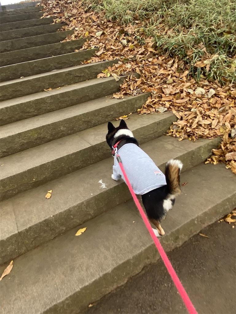 階段を上っている黒柴犬