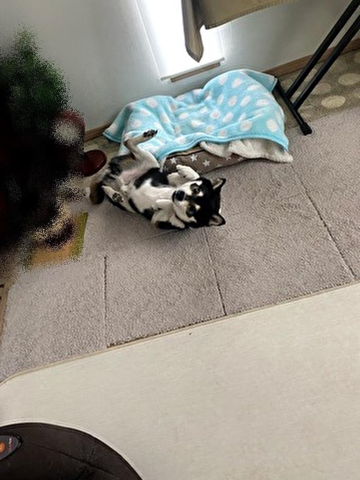 クネクネしている黒柴犬