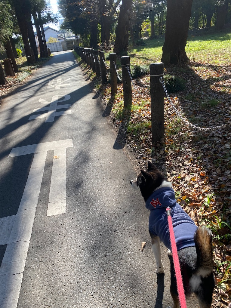 公園ないの散歩道を歩く黒柴犬