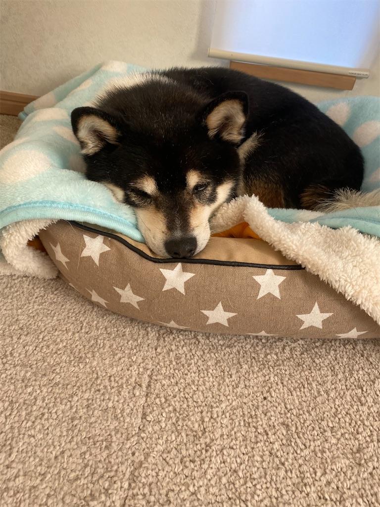 ペットベッドで眠っている黒柴犬