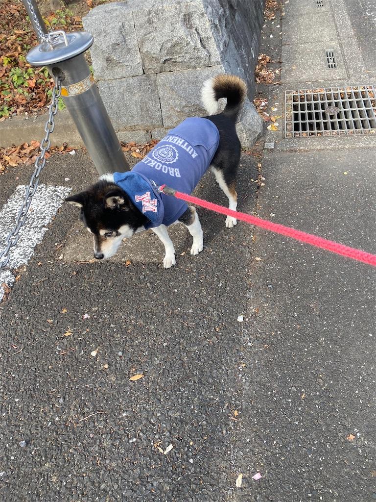 路肩で立ち止まっている黒柴犬
