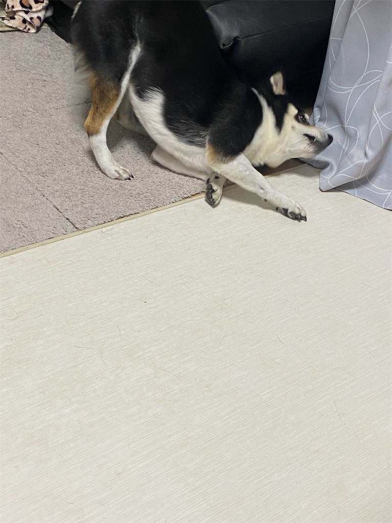 床に顔を擦り付けている黒柴犬