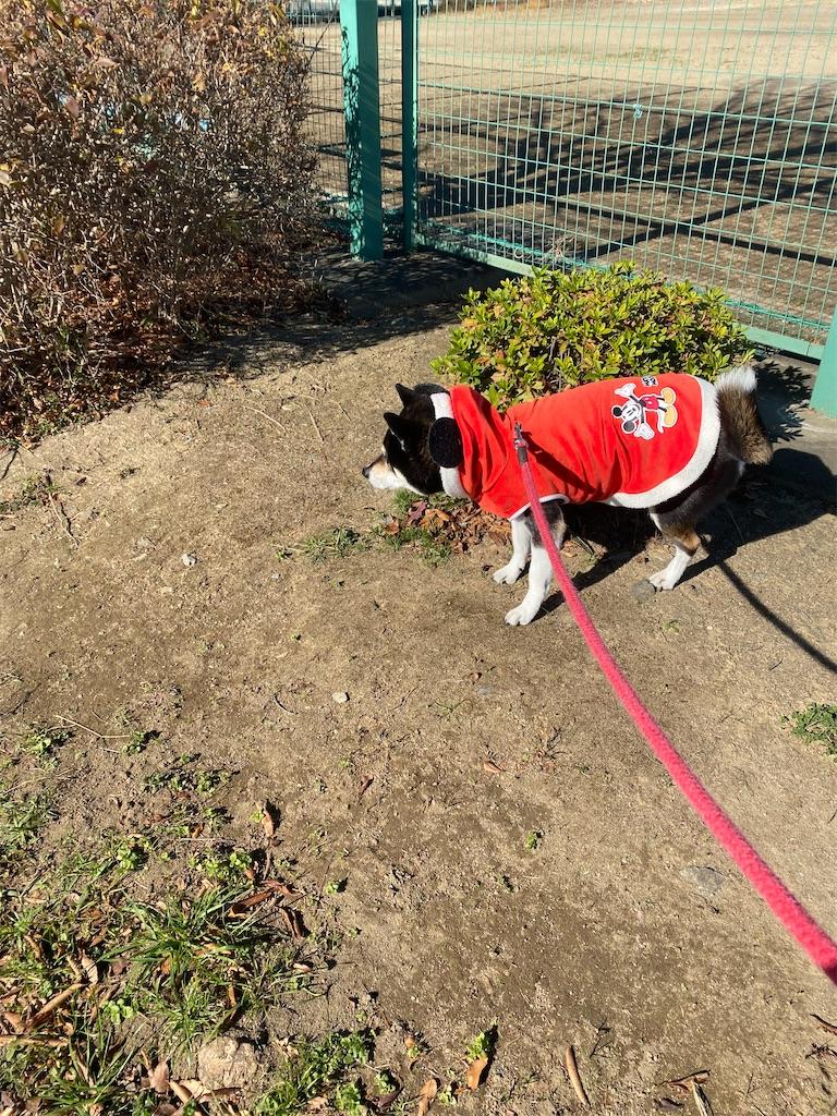 紅い洋服を着ている黒柴犬