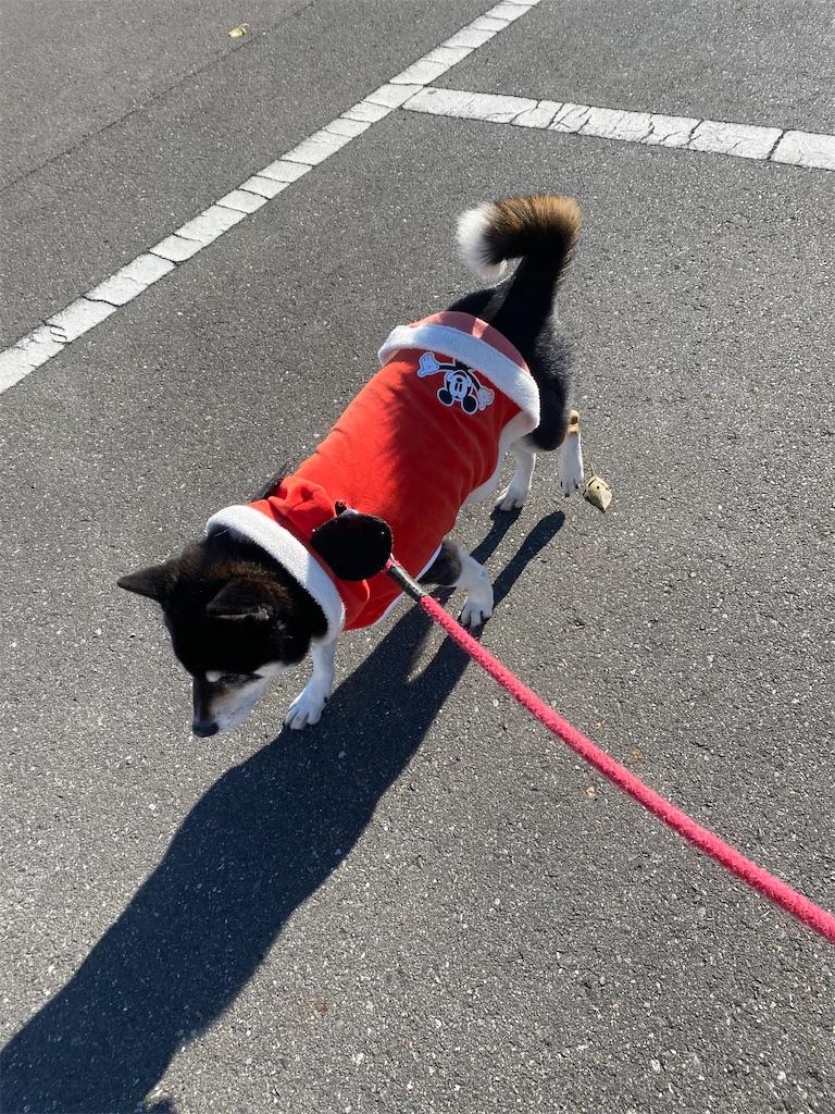 紅い洋服を着ている黒柴犬が手前に歩いてくる