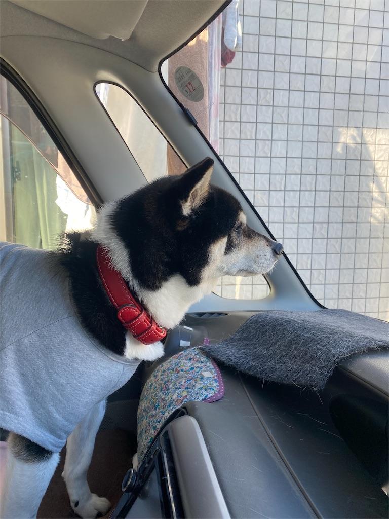 クルマの助手席から外を眺めている黒柴犬