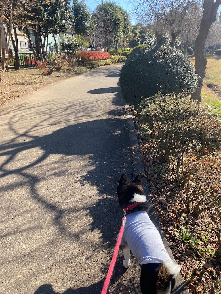 お散歩中の黒柴犬