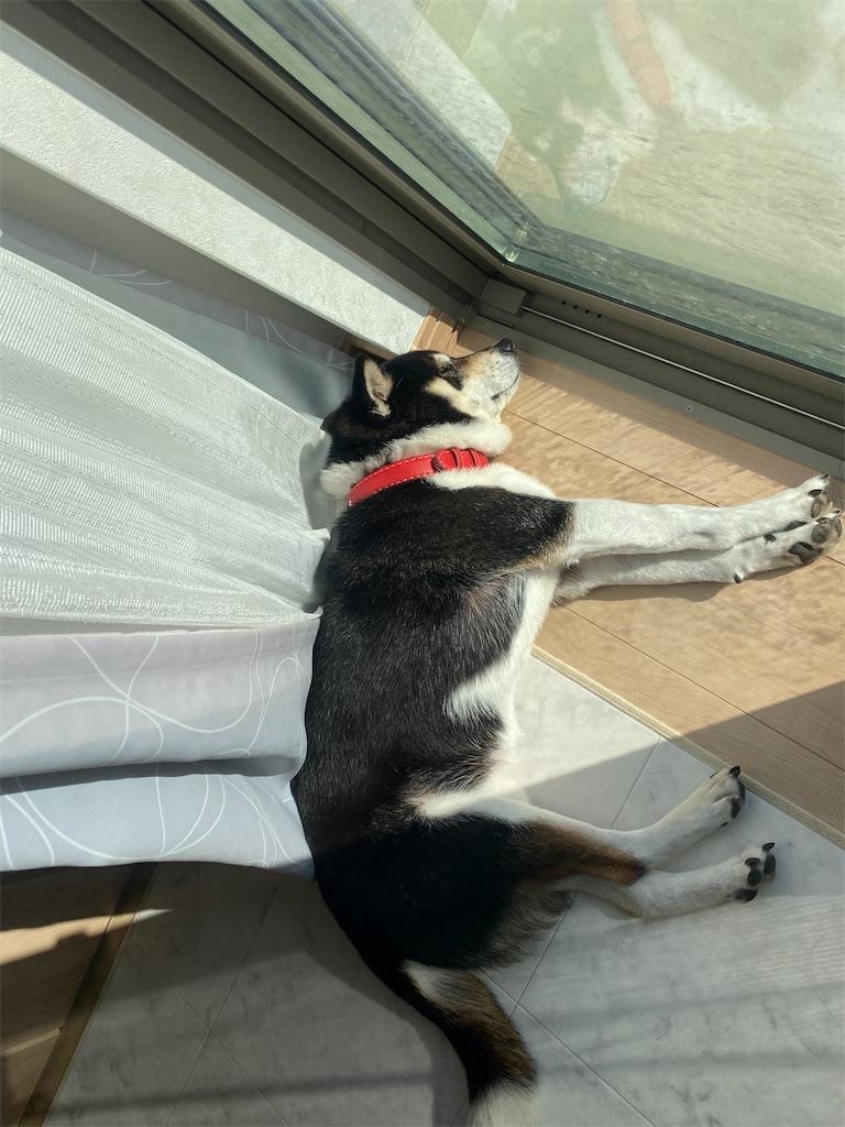 窓際で眠っている黒柴犬