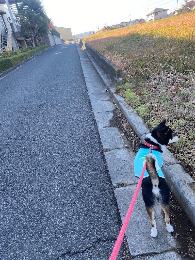 路肩で歩いている黒柴犬