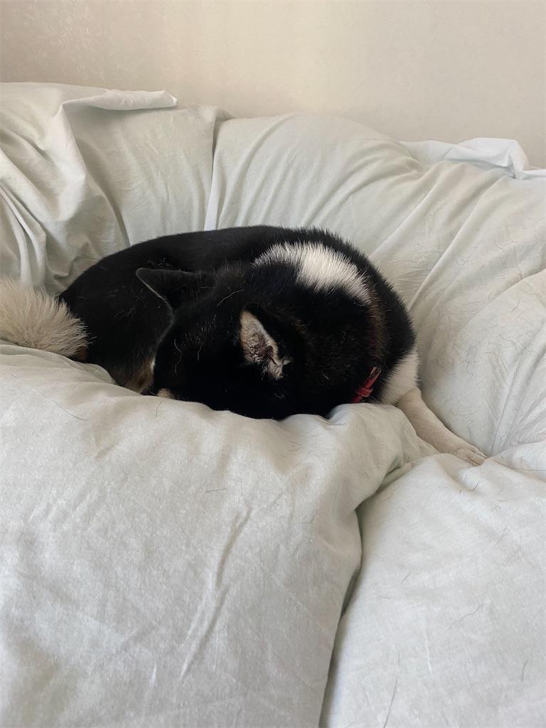 ベッドの上で丸くなって寝てしまった黒柴犬