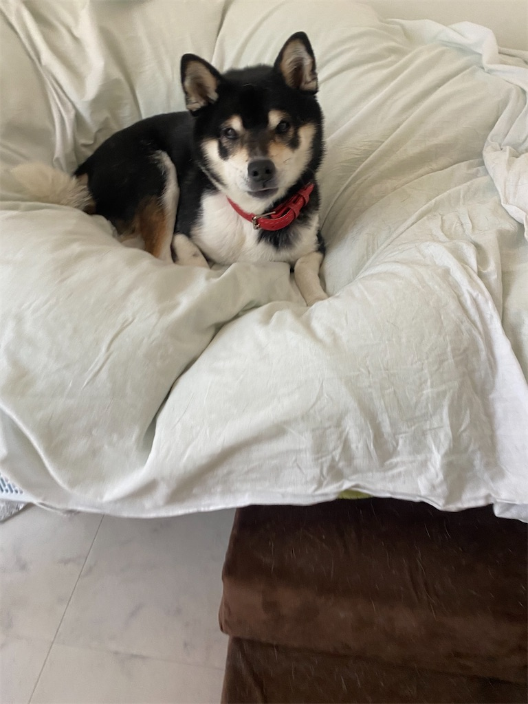 人間のベッドの上で横になっている黒柴犬