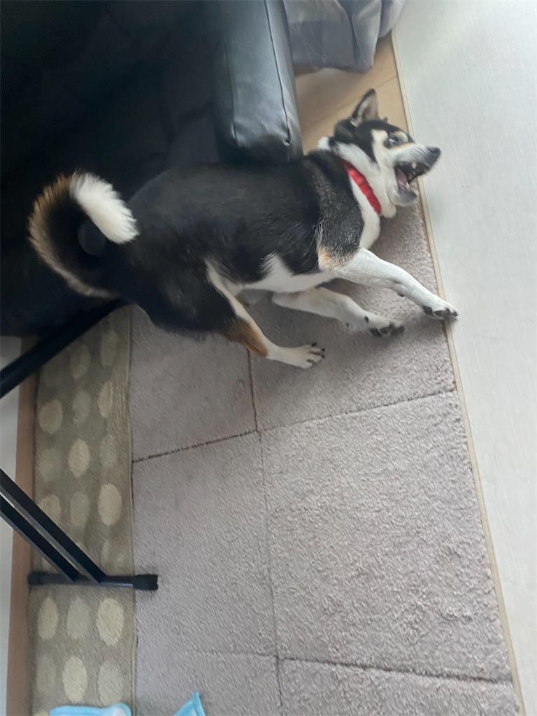 床に頭をこすりつけている黒柴犬