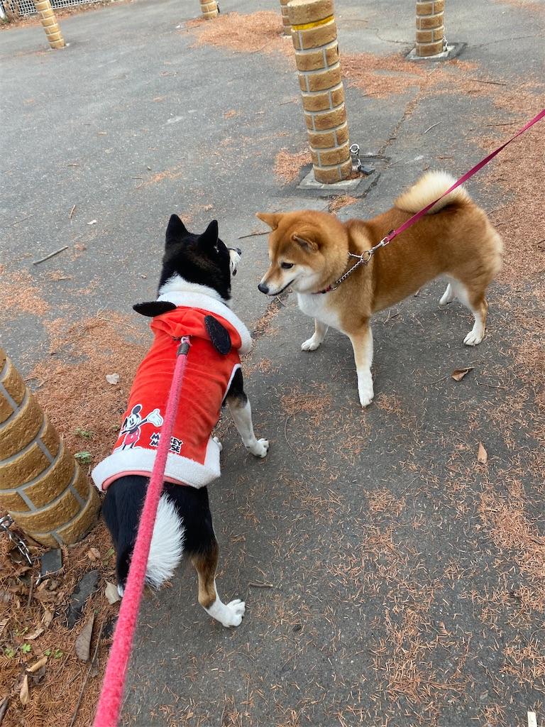 赤柴犬と黒柴犬が顔を近づけている