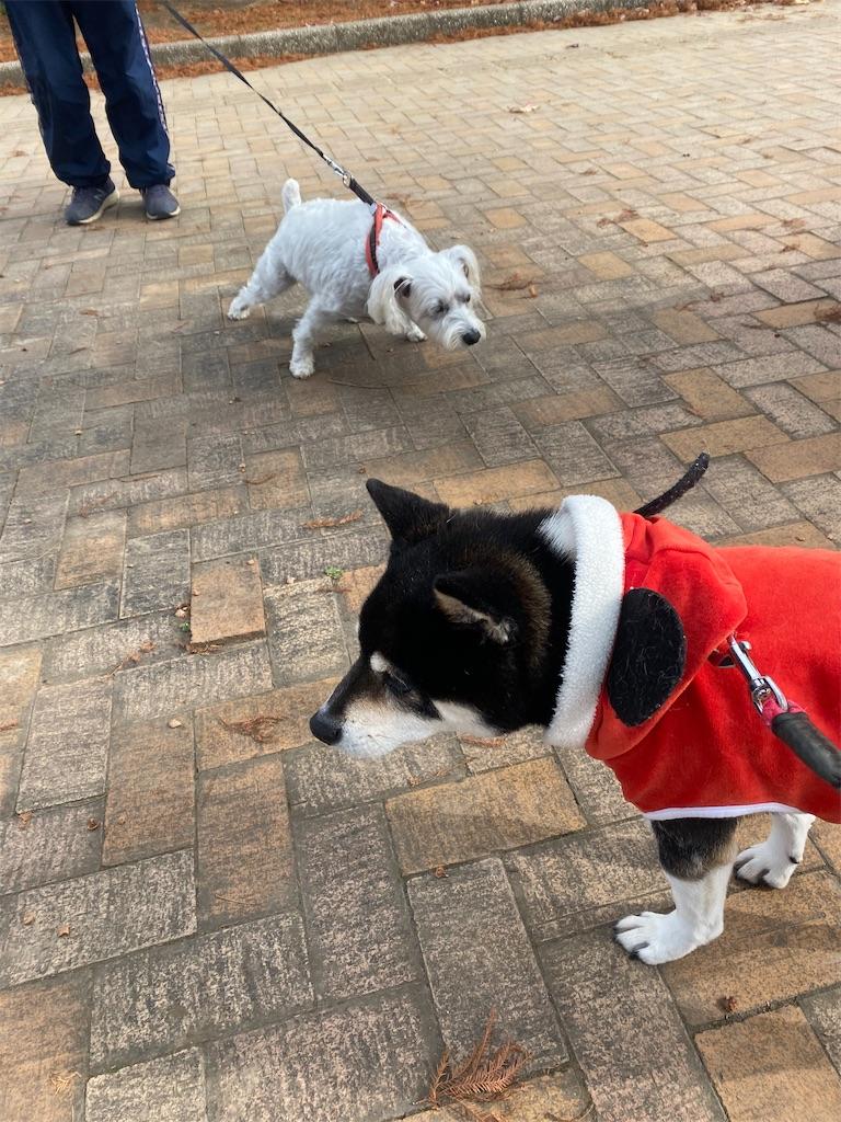 白いシュナウザーと黒柴犬
