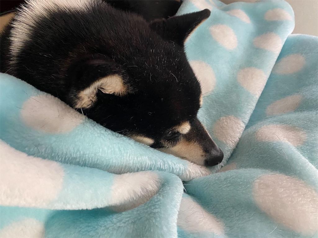 ペットベッドで眠そうな黒柴犬