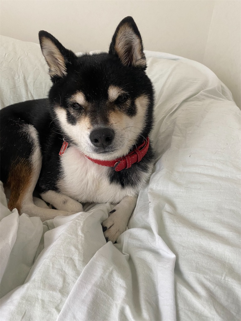 ベッドの上で眠たそうな黒柴犬