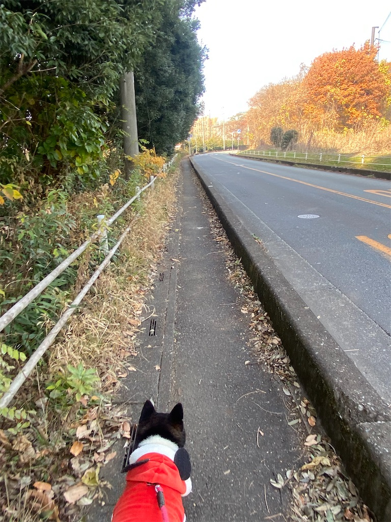 直線道路の歩道を黒柴犬が歩いている