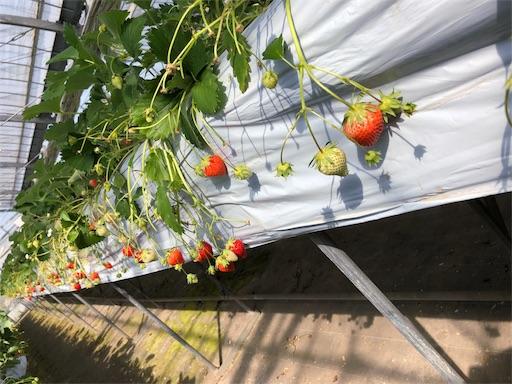 ビニルハウスの中のイチゴ