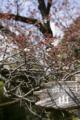 ちょっとくるのが早かったらしい山桜